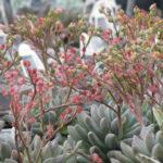 Echeveria tolimanensis