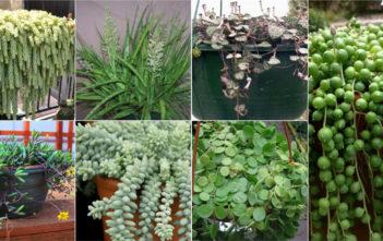 Hanging Succulent Plants