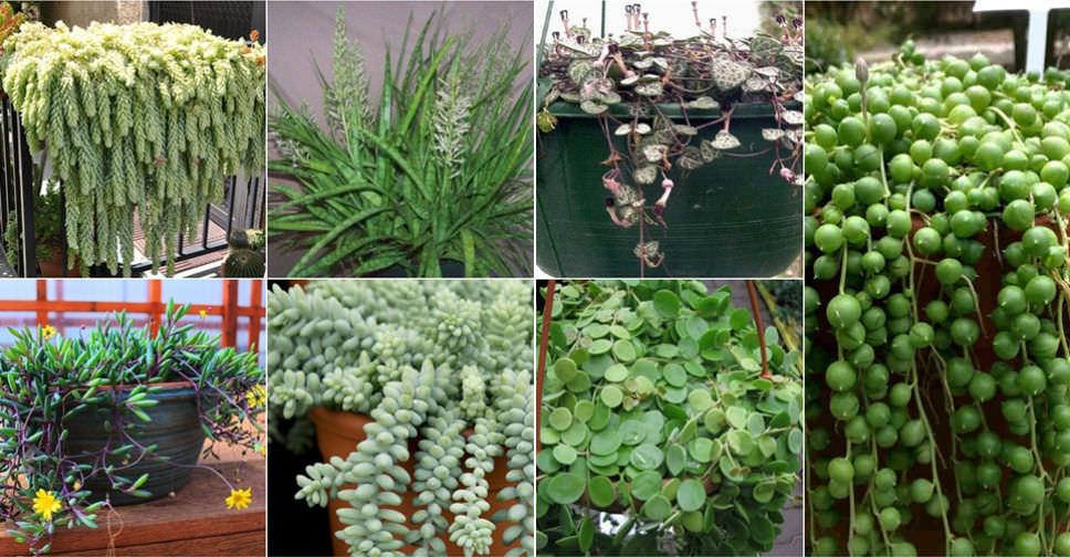7 Por Hanging Succulent Plants