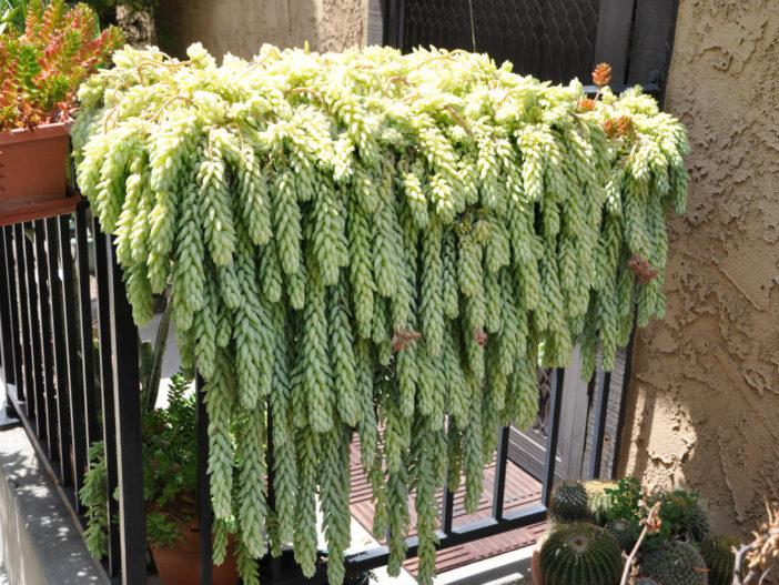 Hanging Succulent Plants (Sedum morganianum)