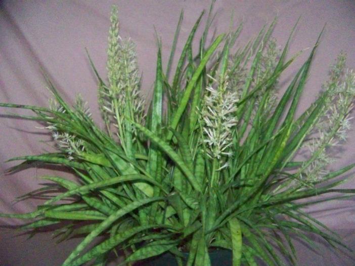 Hanging Succulent Plants (Sanservieria parva)