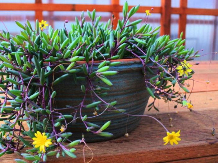 Hanging Succulent Plants (Othonna capensis)