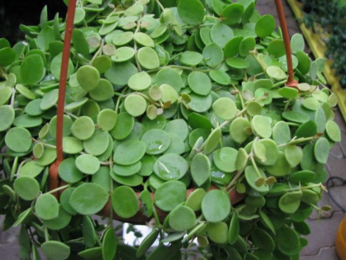Hanging Succulent Plants (Dischidia nummularia)