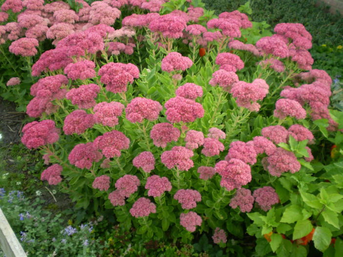 Hylotelephium spectabile 'Brilliant' (Brilliant Stonecrop) aka Sedum spectabile 'Brilliant'