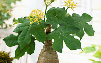 Jatropha podagrica 'Yellow Flowers' (Yellow Jatropha)