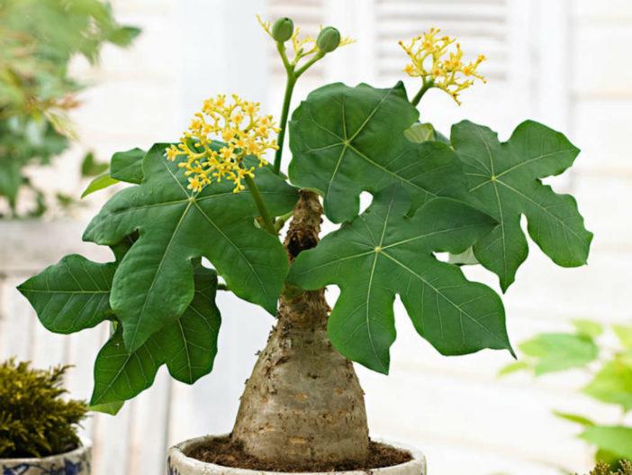 Jatropha podagrica 'Yellow Flowers' (Yellow Jatropha)