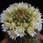 Mammillaria backebergiana f. albiflora