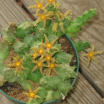 Piaranthus geminatus subsp. decorus
