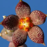 Piaranthus geminatus var. foetidus