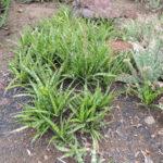 Sansevieria parva - Kenya Hyacinth