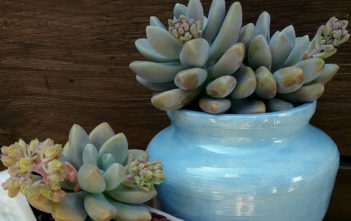 Graptosedum 'Blue Giant' aka Sedeveria 'Blue Giant'