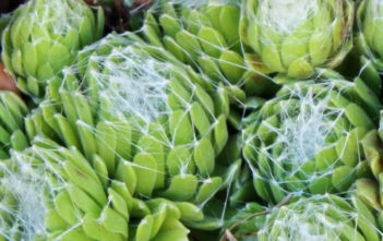 Sempervivum arachnoideum 'Cebenese'