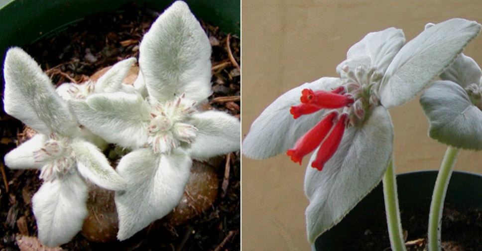 Sinningia Leucotricha Brazilian Edelweiss World Of