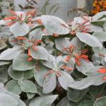 Sinningia leucotricha - Brazilian Edelweiss