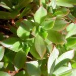 Aeonium decorum 'Cooperi'