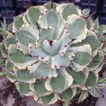 Agave 'Kissho Kan' (Lucky Crown Century Plant)