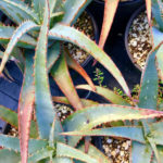 Aloe 'Blue Sky'