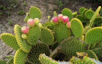 Bunny Ears Cactus (Opuntia microdasys)