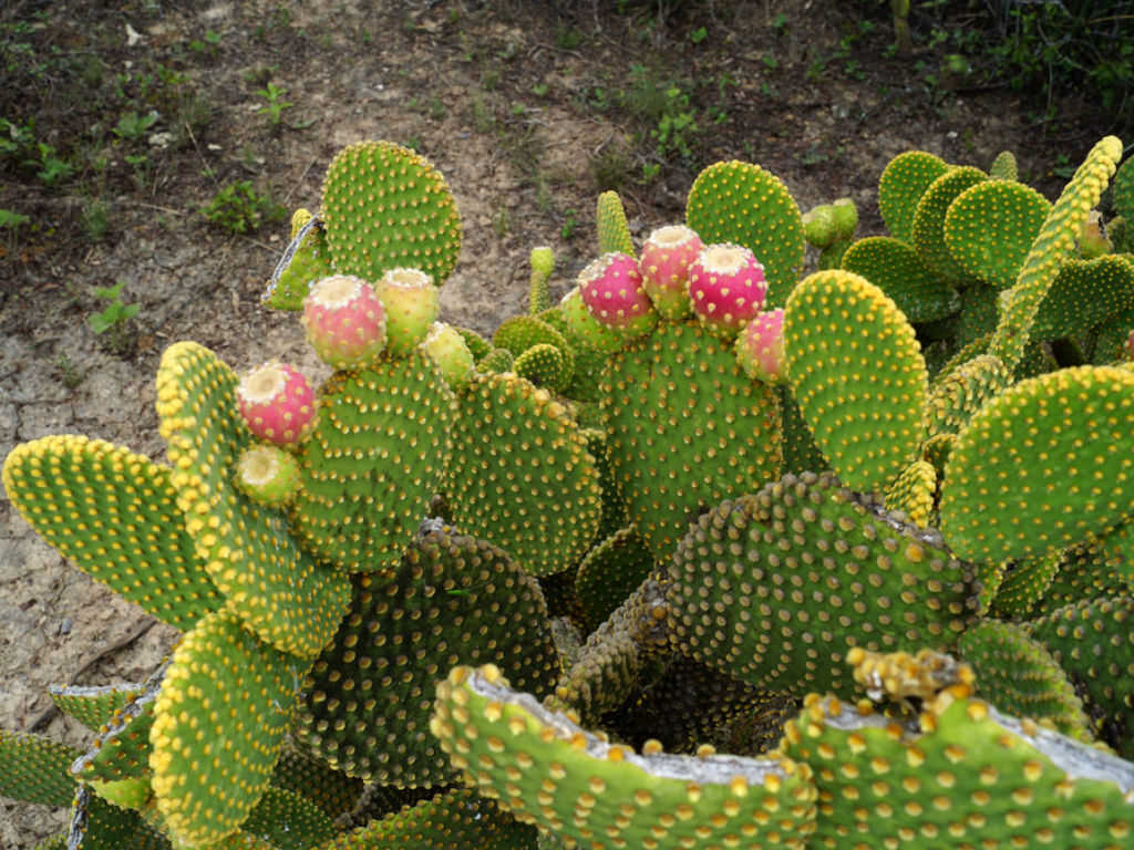 How To Grow And Care For A Bunny Ears Cactus World Of