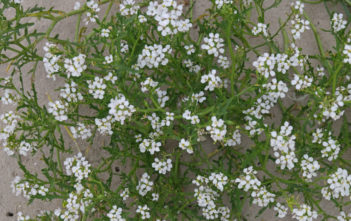 Cakile maritima (European Searocket)