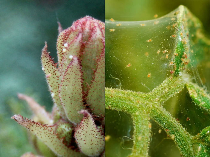 Control Spider Mites on Your Succulents