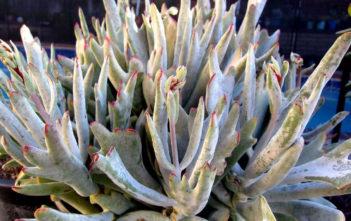 Cotyledon orbiculata 'Staghorn'