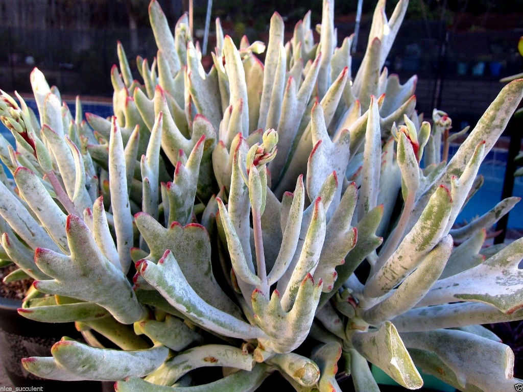 cotyledon orbiculata staghorn world of succulents