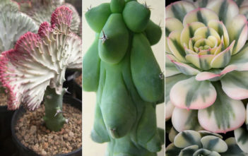 Crested, Monstrose and Variegated Succulents