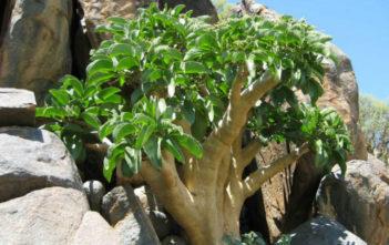 Cyphostemma currorii (Cobas Tree)