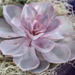 Echeveria 'Purple Pearl'