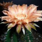 Echinopsis 'Orange Paramount'