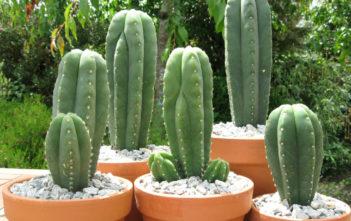 Echinopsis pachanoi - San Pedro Cactus