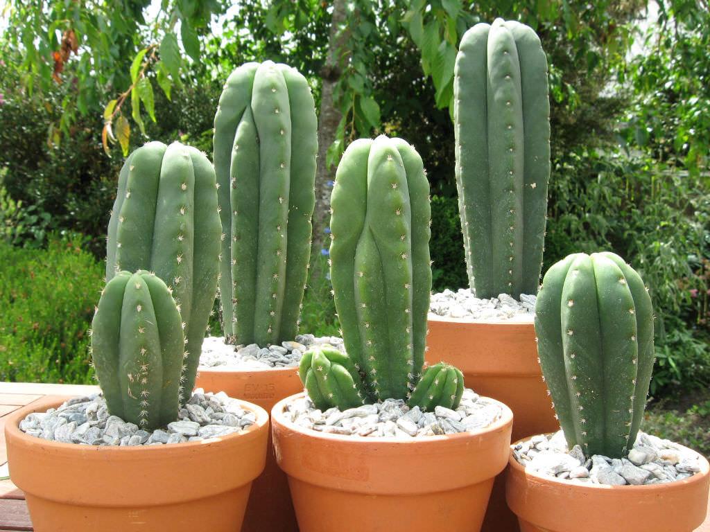 Echinopsis pachanoi (San Pedro Cactus) aka Trichocereus pachanoi