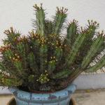 Euphorbia enopla (Pincushion Euphorbia)