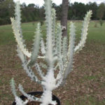 Euphorbia lactea 'White Ghost' (White Ghost Candelabra Spurge)