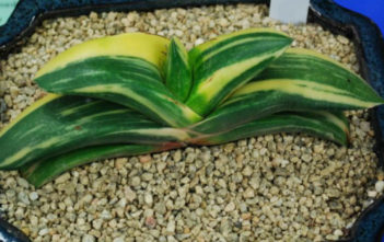 Gasteria nitida var. armstrongii 'Variegated' - Cow Tongue
