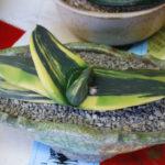Gasteria nitida var. armstrongii 'Variegated' - Cow Tongue