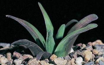 Haworthia floribunda