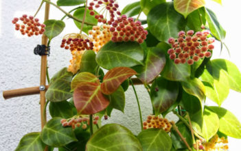 Hoya obscura (Red Wax Plant)