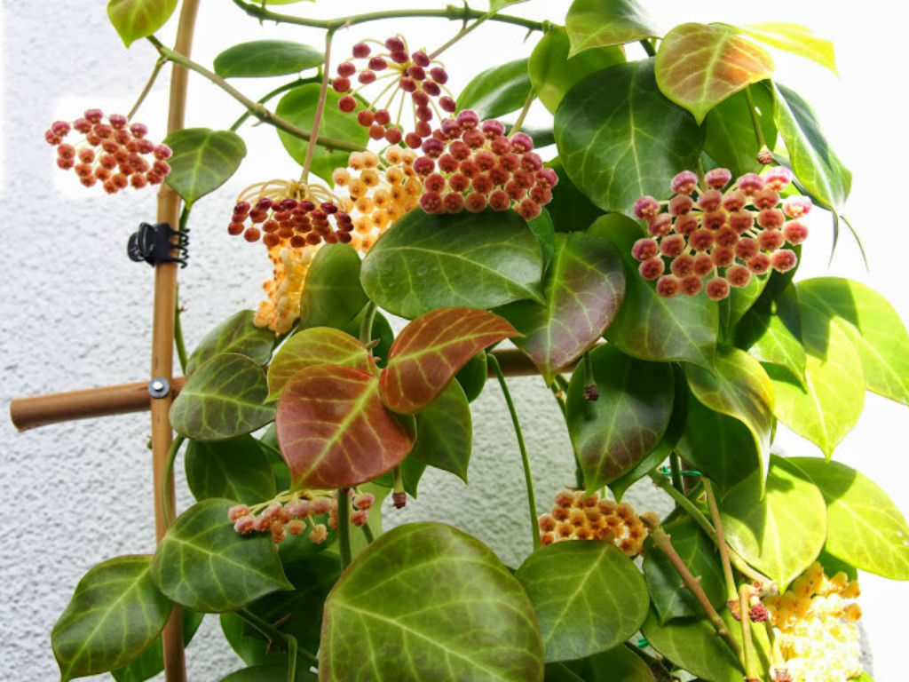 Hoya Obscura Red Wax Plant World Of Succulents