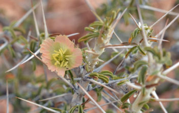 Monsonia salmoniflora - Bushman's Candle