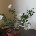 Monsonia vanderietiae (Bushman's Candle)