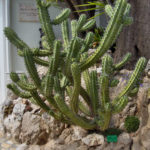 Myrtillocactus cochal (Candelabra Cactus)