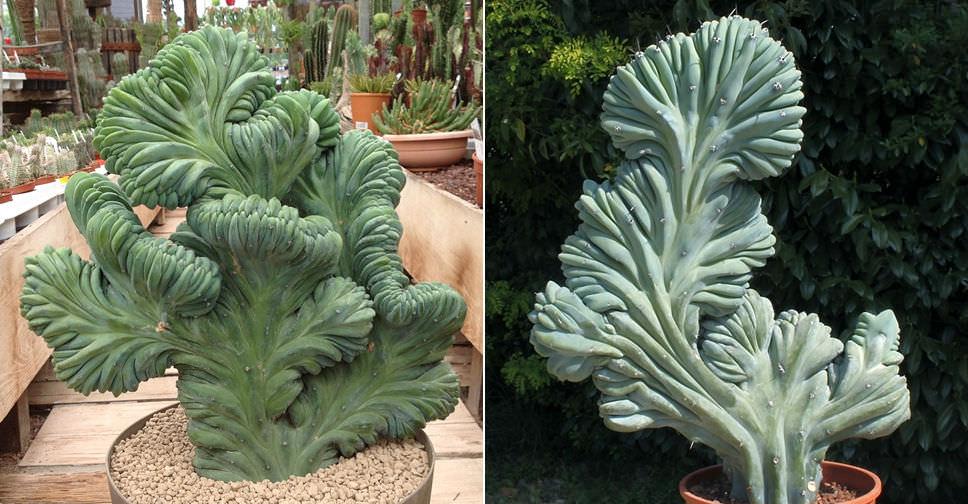 Myrtillocactus Geometrizans F Cristata World Of Succulents