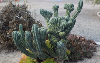 Myrtillocactus geometrizans f. cristata (Dinosaur Back Plant)