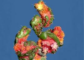 Myrtillocalycium 'Polyp'
