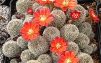 Rebutia heliosa subsp. teresae