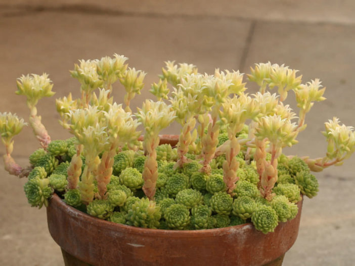 Rosularia chrysantha