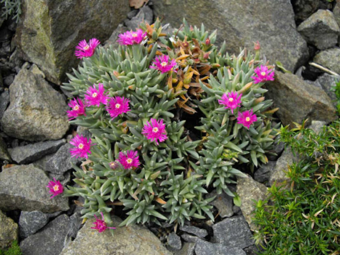 Ruschia pulvinaris (Creeping Shrubby Ice Plant)