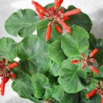 Sinningia cardinalis - Cardinal Flower